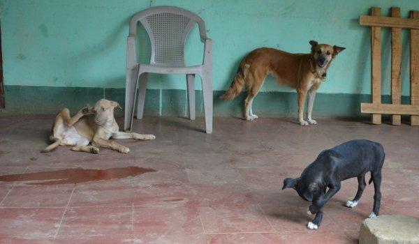 strassenhunde-nicaragua5