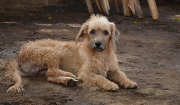 strassenhunde-nicaragua6