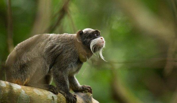 Ein Affe ist kurz davor von Baum zu Baum zu springen